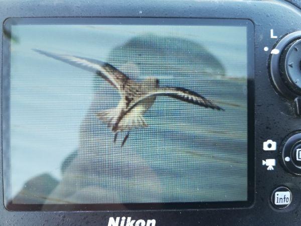 Bécasseau sanderling  - Thibault Jourdain