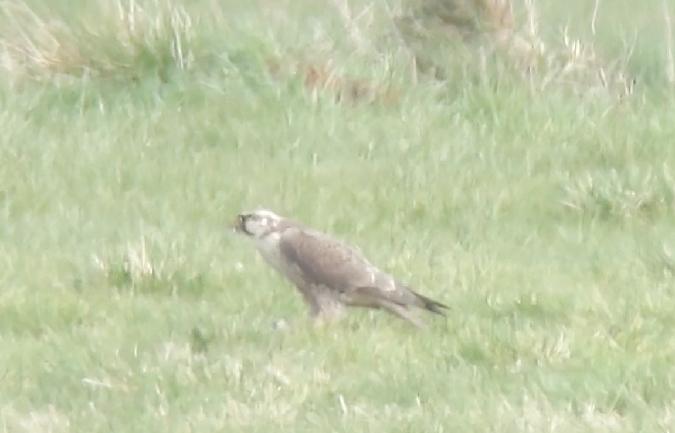 Peregrine Falcon (F.p.calidus)  - Imme Wichelmann