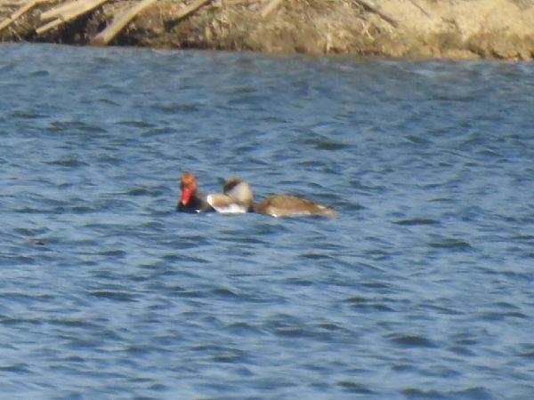 Red-crested Pochard  - Szymon Sendera