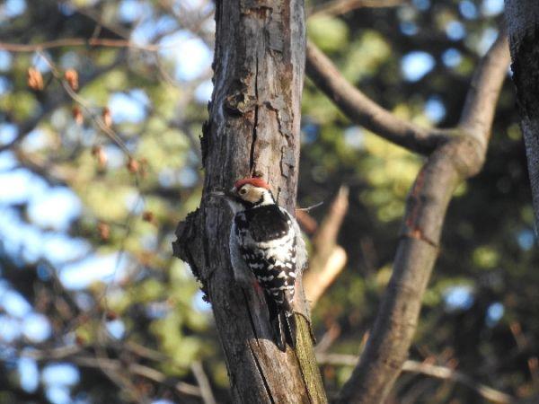 White-backed Woodpecker  - Szymon Sendera