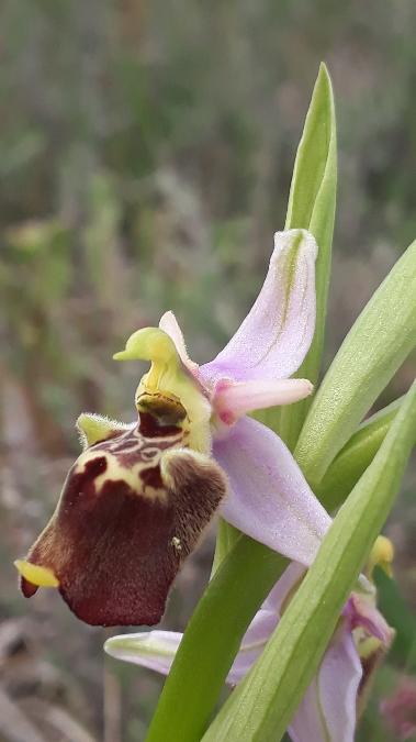 Ophrys druentica  - Emmanuel Cosson
