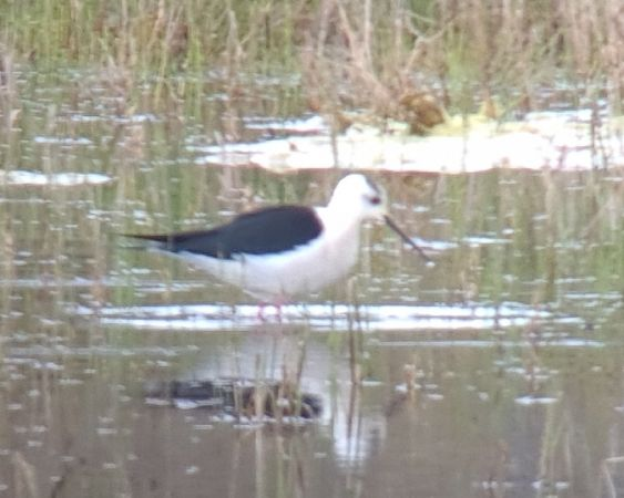 Black-winged Stilt  - Michel Cattin
