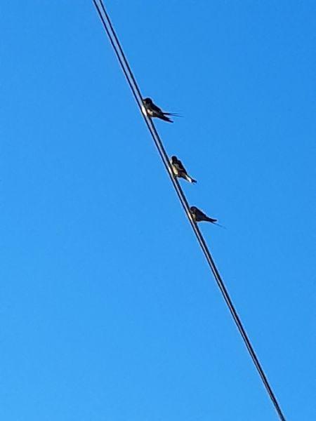 Hirondelle rustique  - Bassano Riboni