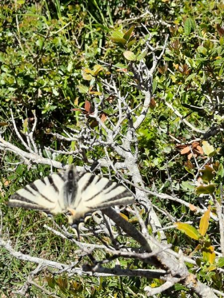 Scarce Swallowtail  - Michele Coppola