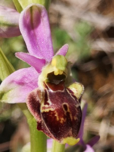 Ophrys druentica  - Richard Fay