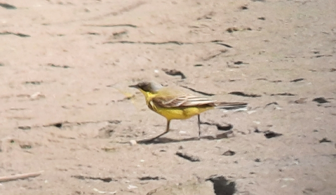 Western Yellow Wagtail (M.f.thunbergi)  - Tomasz Wilk