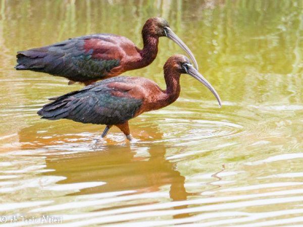 Glossy Ibis  - Vitantonio Altieri