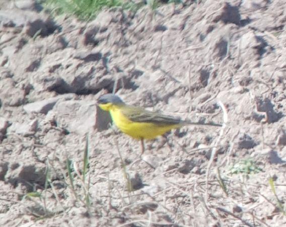 Western Yellow Wagtail (M.f.thunbergi)  - Łukasz Janocha
