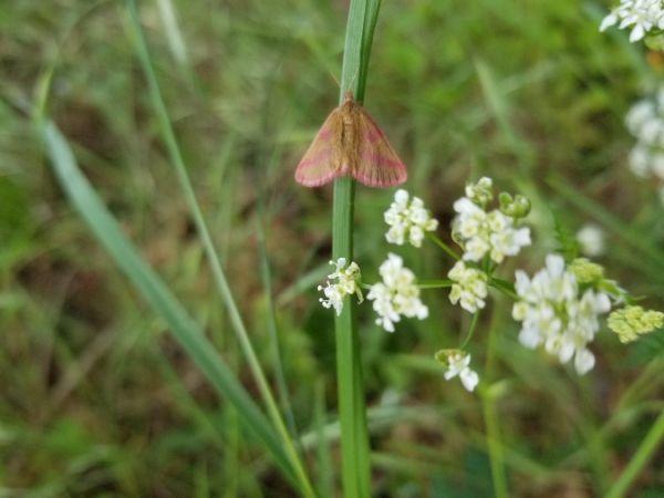 Lythria purpuraria  - Christophe Ingrand
