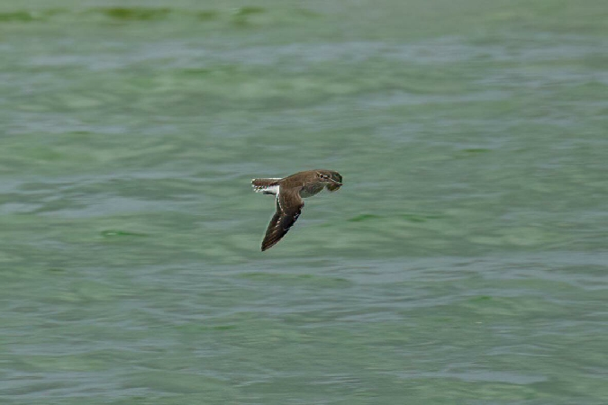 Common Sandpiper  - Maren Hahlbeck