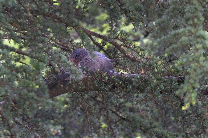 Pigeon ramier  - Alice Belain