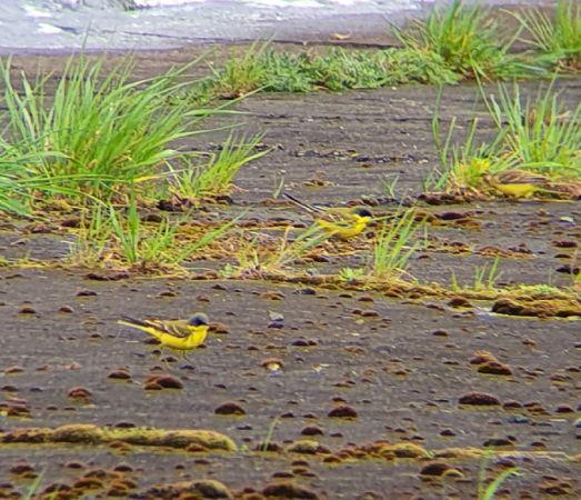 Western Yellow Wagtail (M.f.thunbergi)  - Paweł Łągiewka