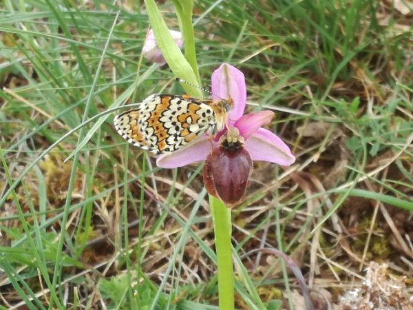 Ophrys aveyronensis  - Emmanuelle Veillet