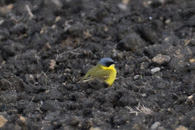 Western Yellow Wagtail (M.f.thunbergi)  - Adrian Ochmann