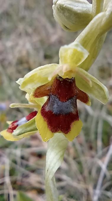 Ophrys aymoninii  - Bruno Veillet