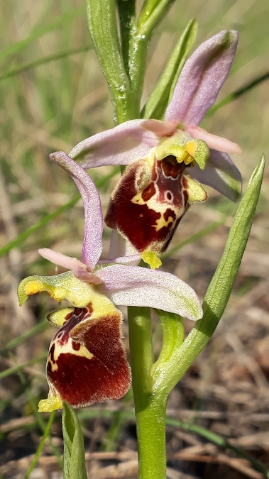 Ophrys druentica  - Emmanuel Cosson