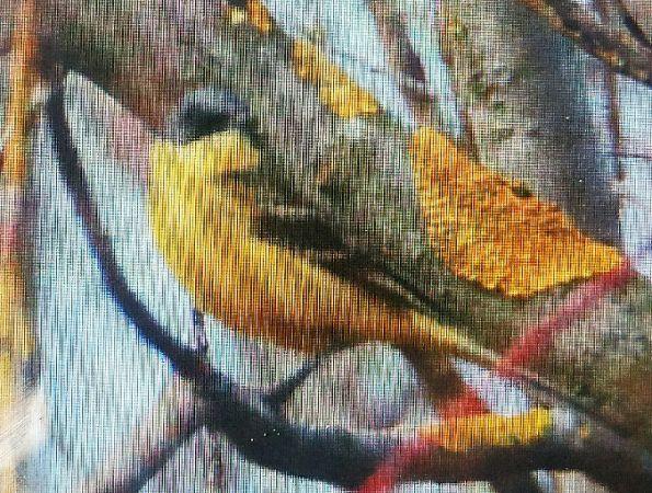 Western Yellow Wagtail (M.f.thunbergi)  - Marek Betlejewicz