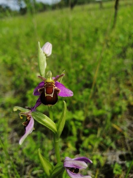 Ophrys apifera var. aurita  - Alain Falvard