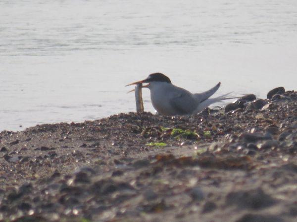Little Tern  - Maren Hahlbeck