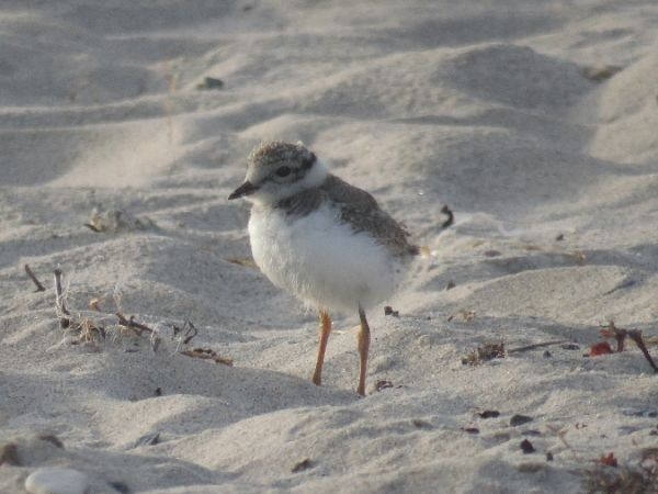 Common Ringed Plover  - Maren Hahlbeck