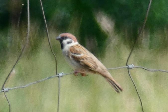 Eurasian Tree Sparrow  - Carlos Monzon