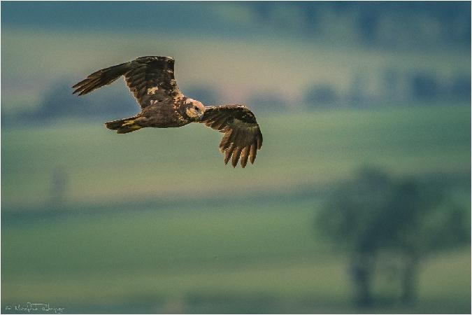Western Marsh Harrier  - Manfred Ruhringer
