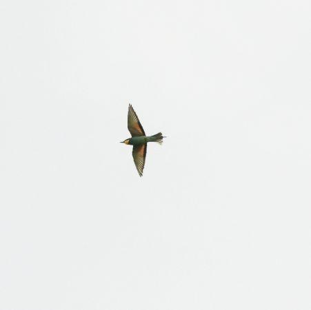European Bee-eater  - Ueli Bieri