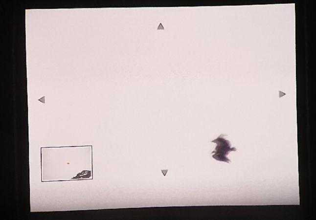 Griffon Vulture  - Merlin Hochreutener