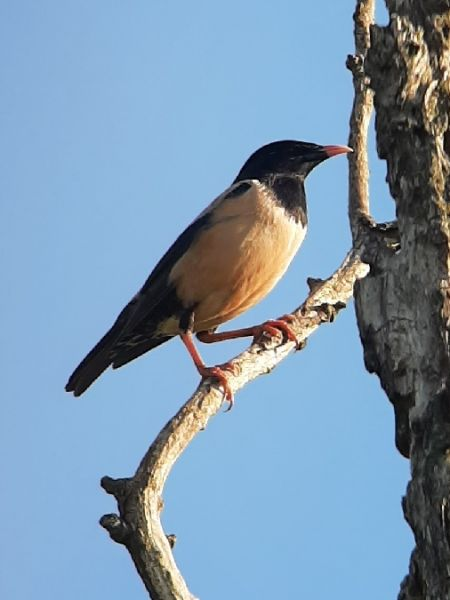 Rosy Starling  - Ulrich Lindinger