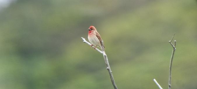 Common Rosefinch  - Claudia Müller