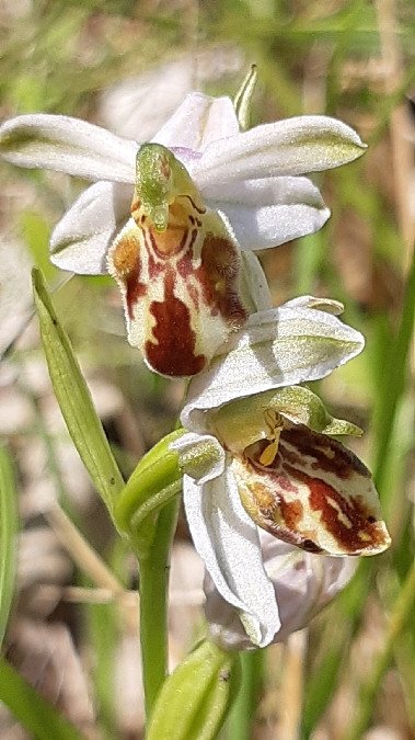 Ophrys apifera var. botteronii  - Jean-Claude Alazard