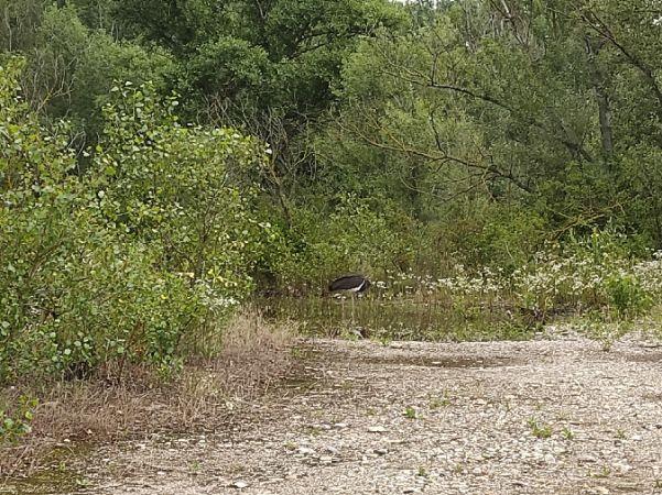 Cigogne noire  - Anouk Léonard