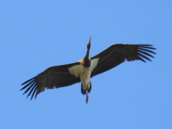 Cigogne noire  - Lionel Manceau