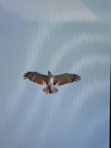 Short-toed Snake-eagle  - Sarah Burg