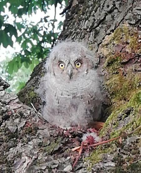 Eurasian Scops Owl  - Gabriele Zamo'