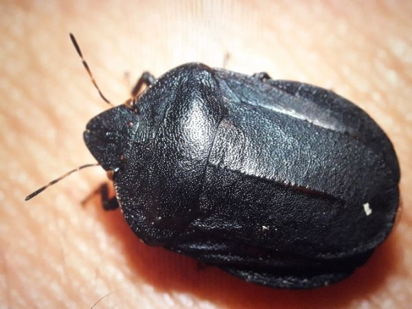 Eurygaster austriaca  - Johann Chrétien