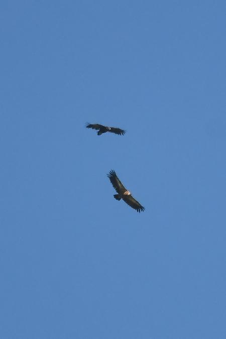 Cinereous Vulture  - Elias Biegger