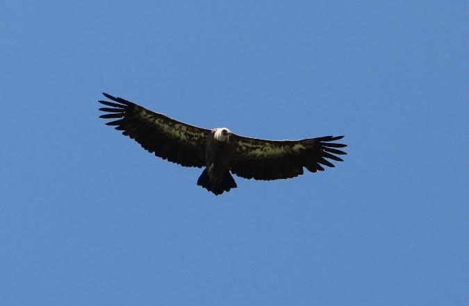 Griffon Vulture  - Sabine Pichler