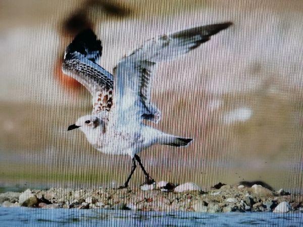 Mediterranean Gull  - Ryszard Dworak