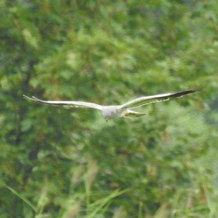 Montagu's Harrier  - Rolf Reber