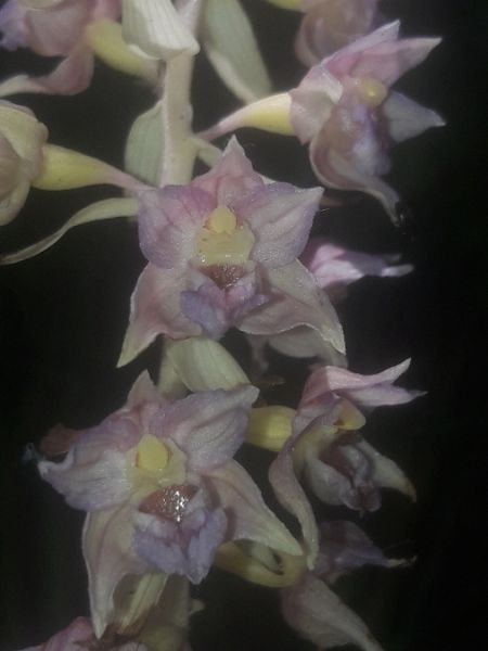 Epipactis helleborine  - Thibaut Durr