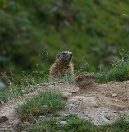 Marmotte des Alpes  - Xavier Herrier