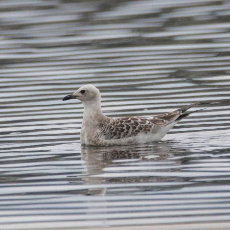 Mediterranean Gull  - Chris Zlatar