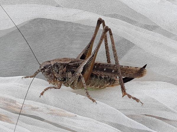 Grey Bush-cricket  - América Croisier