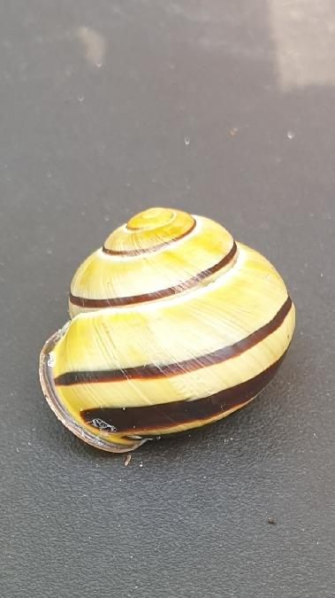 Escargot des haies  - Aurore Sindt