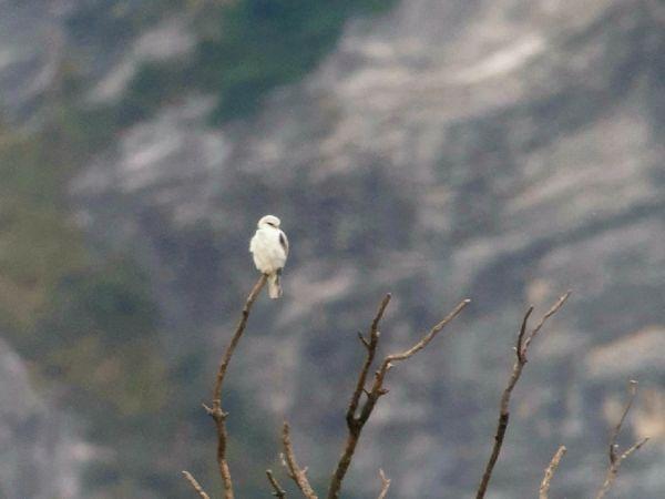 Black-winged Kite  - Nicholas Lengacher