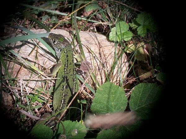 Lézard à deux raies (L. vert occidental)  - Cédric Pochelon