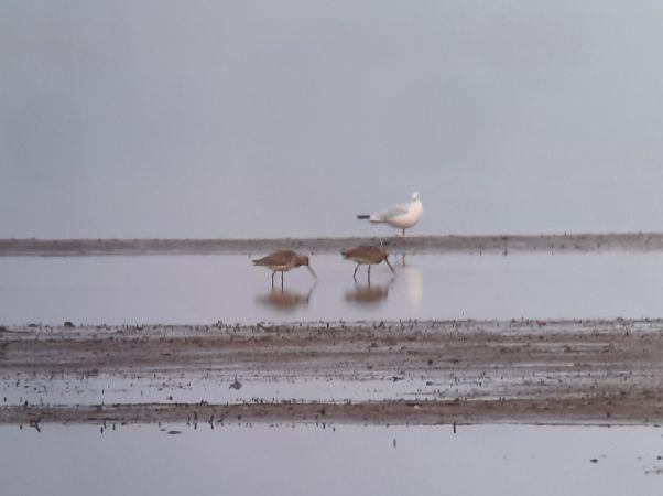 Bar-tailed Godwit  - Tomasz Zarzycki