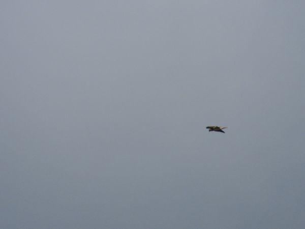 Aigle botté  - Thomas Bezanger