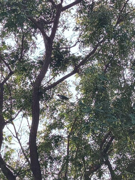Hooded Crow  - Jonathan Skipper